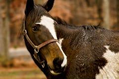 Cavallo Immagini Stock