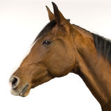 Cavallo (11 anno) immagini stock libere da diritti