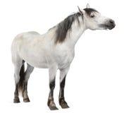 Cavallo, 2 anni, levantesi in piedi Fotografia Stock