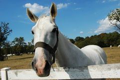 Cavallo 2 di Lipizzaner Immagine Stock