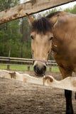 Cavallo Fotografia Stock Libera da Diritti