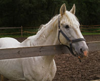 Cavallo Fotografia Stock