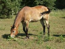 Cavallo 4 Fotografia Stock