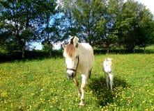 Cavallo Immagine Stock Libera da Diritti