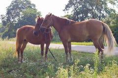 Cavallo Fotografie Stock