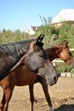 Cavallo Immagine Stock