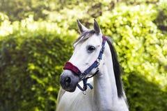Cavallo abbastanza grigio in collare capo davanti agli alberi Immagini Stock