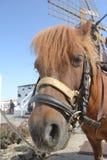 Cavallo adulto di Brown di La Palma fotografia stock