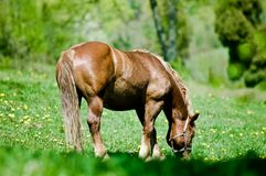 Cavallo al prato Fotografie Stock