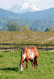 Cavallo americano della vernice Fotografia Stock Libera da Diritti