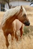 Cavallo americano selvaggio del mustang nel deserto di Sierra Nevada Fotografia Stock