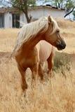 Cavallo americano selvaggio del mustang nel deserto di Sierra Nevada Fotografie Stock