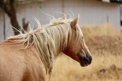 Cavallo americano selvaggio del mustang nel deserto di Sierra Nevada Fotografia Stock Libera da Diritti