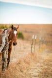 Cavallo amichevole del uarter in pascolo Fotografie Stock Libere da Diritti