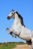 Cavallo andaluso Fotografie Stock