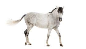 Cavallo andaluso Fotografia Stock Libera da Diritti