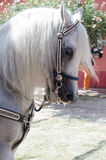 Cavallo andaluso Fotografie Stock Libere da Diritti