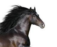 Cavallo andaluso della baia isolato Fotografie Stock