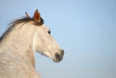 Cavallo andaluso grigio Fotografia Stock