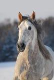 Cavallo andaluso grigio del ritratto fotografia stock libera da diritti