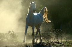Cavallo arabo immagine stock libera da diritti
