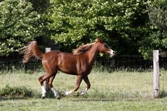 Cavallo arabo Fotografia Stock Libera da Diritti