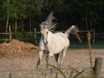 Cavallo arabo fotografia stock
