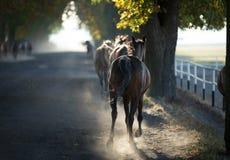 Cavallo arabo alla luce nebbiosa Immagini Stock Libere da Diritti