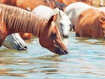 Cavallo arabo bevente nel lago. Fotografie Stock Libere da Diritti