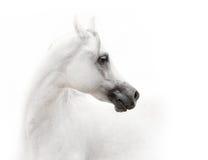 Cavallo arabo bianco Immagini Stock Libere da Diritti