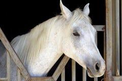 Cavallo arabo bianco Fotografie Stock