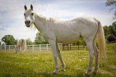 Cavallo arabo bianco che cerca dal pascolo Fotografia Stock