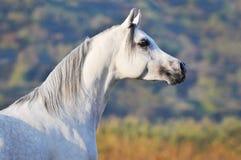 Cavallo arabo bianco in estate Fotografia Stock Libera da Diritti