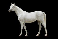 Cavallo arabo bianco isolato Fotografia Stock