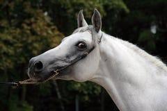 Cavallo arabo bianco nell'azienda agricola di estate Fotografia Stock