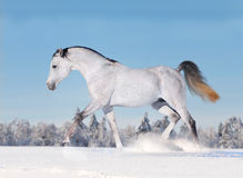 Cavallo arabo che galoppa in inverno Immagine Stock Libera da Diritti