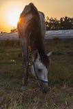 Cavallo arabo che pasce l'erba al tramonto Immagini Stock