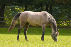 Cavallo arabo che pasce un giorno soleggiato Fotografia Stock Libera da Diritti