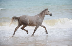 Cavallo arabo che trotta nell'acqua di mare Immagine Stock