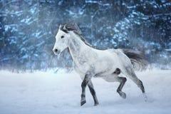 Cavallo arabo con la criniera lunga fotografia stock libera da diritti
