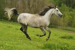 Cavallo arabo corrente, Arabo di Shagya Fotografie Stock