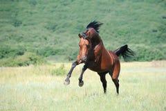 Cavallo arabo del Brown che gioca sul pascolo Fotografie Stock Libere da Diritti