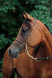 Cavallo arabo della baia nell'azienda agricola di estate Fotografia Stock Libera da Diritti