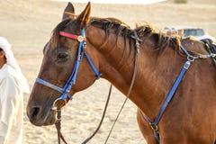 Cavallo arabo in deserto Fotografia Stock Libera da Diritti