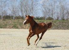 Cavallo arabo di razza nel moto Fotografia Stock Libera da Diritti