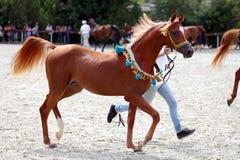 Cavallo arabo di razza su una manifestazione del puledro Immagini Stock