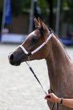 Cavallo arabo di razza su una manifestazione del puledro Fotografia Stock Libera da Diritti