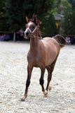Cavallo arabo di razza su una manifestazione del puledro Immagine Stock