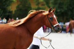Cavallo arabo di razza su una manifestazione del puledro Immagini Stock Libere da Diritti