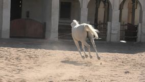 Cavallo arabo Doha stock footage
